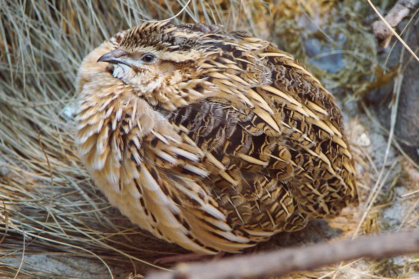 SEO/Birdlife prohibir caza codorniz