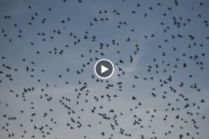 Más de 760.000 palomas cruzan los Pirineos en este segundo golpe