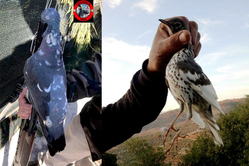 Capturados un zorzal común y una paloma torcaz parcialmente blancos
