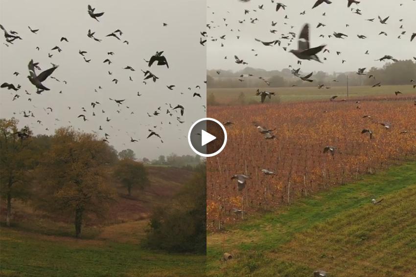 Dron volando palomas torcaces espectacular vídeo Francia