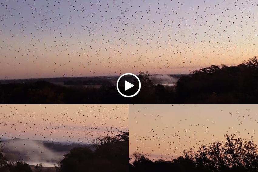 Salida palomas torcaces Francia