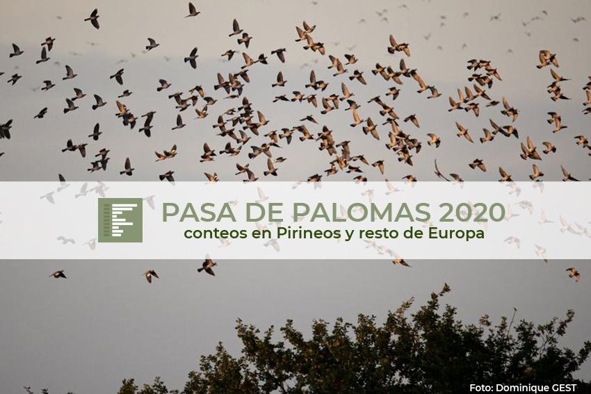 Estos son todos los conteos totales de palomas en esta temporada de pasa 2020