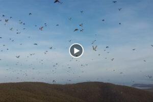 Vuela un dron entre bandos de palomas torcaces y el vídeo fascina a los palomeros