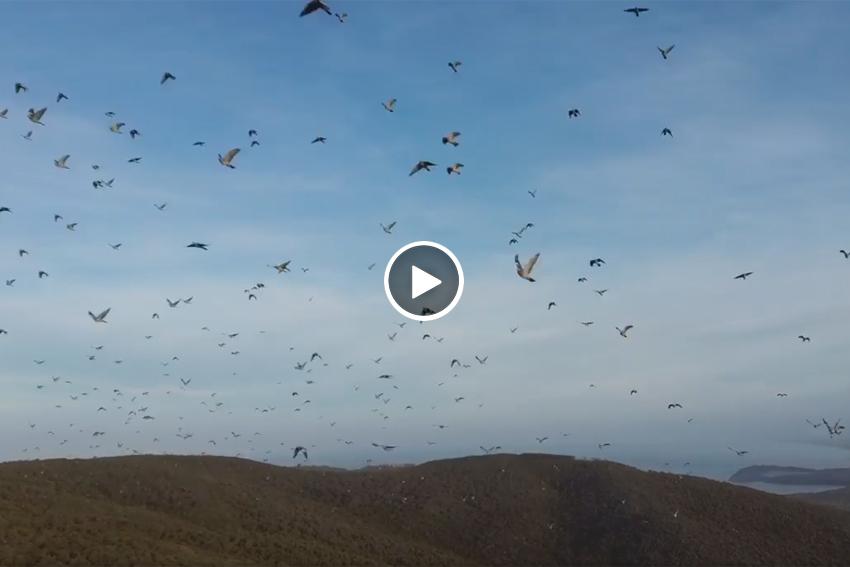 Vuela dron bandos palomas torcaces