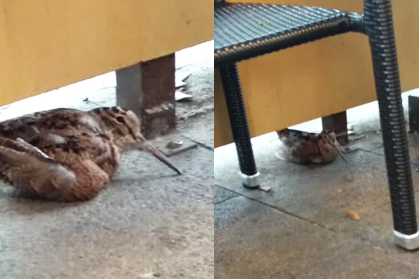 Encuentran becada descansando de su migración en la terraza de una cafetería en Mallorca