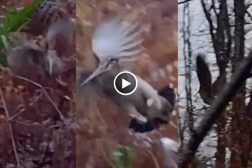 Impresionante vuelo de becada escabulléndose entre setter y cazador