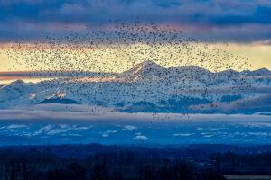 Año de récord con más de 260.000 palomas torcaces en los dormideros de Altos Pirineos