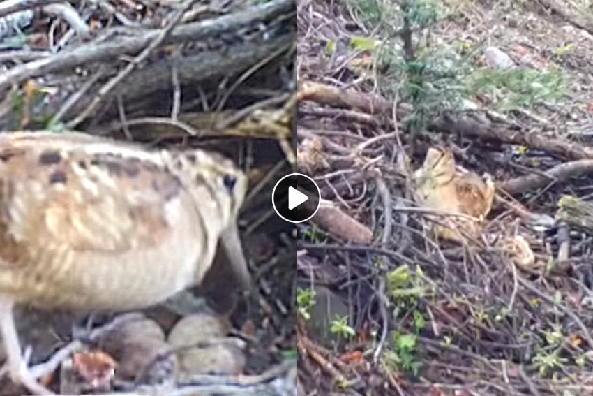 Graba como una becada incuba y cuida de sus 4 polluelos en Altos Alpes