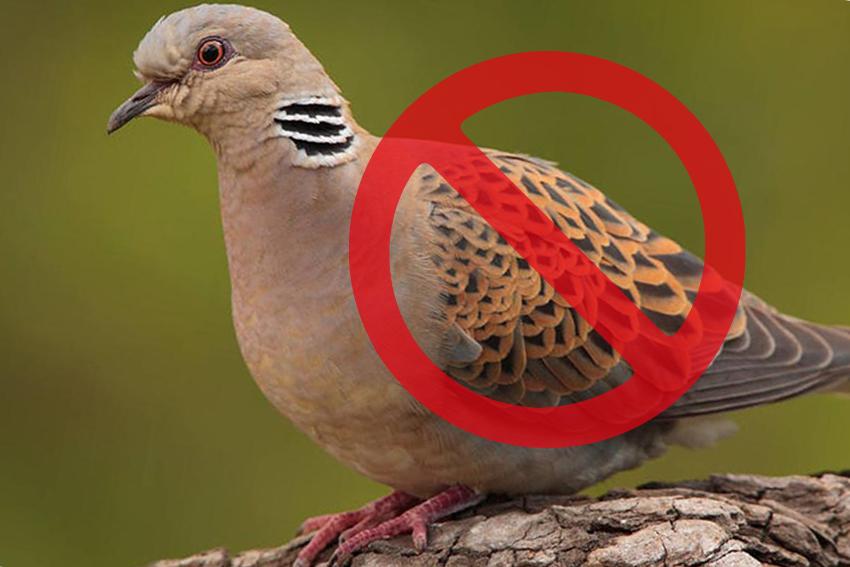 Prohibida la caza de la tórtola europea en España